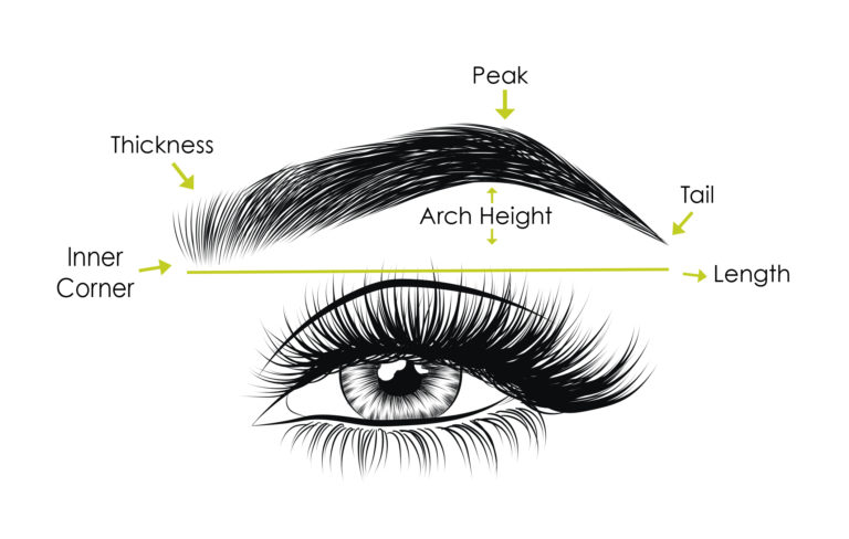 Anatomy Of Eyebrow Different Types Of Eyebrows Shapes